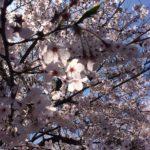 桜アップ2015 (600x800)