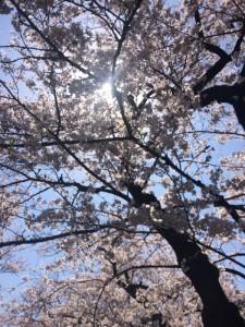 桜201501 (600x800)