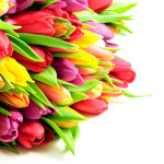 Tulips Mix Rainbow Colours on White Background Flat
