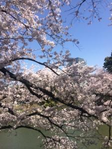 桜20151 (600x800)