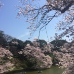 桜千鳥ヶ淵2 (600x800)