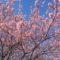 一足先に桜ピンク♪